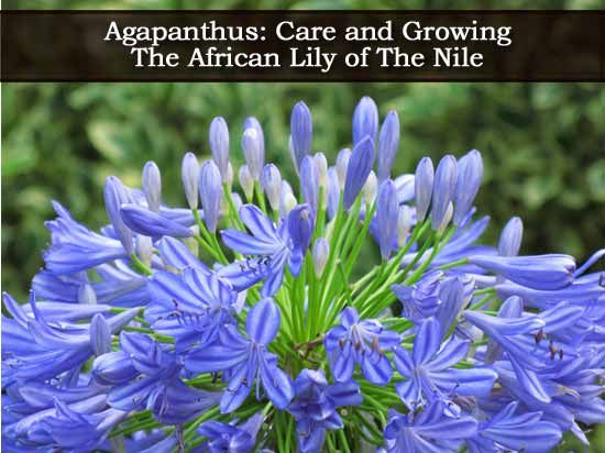 How To Grow and Care For Agapanthus: Blue African Lily of the Nile