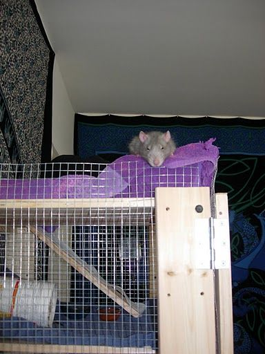 31 Best Images About Rat Cages On Pinterest Mansions