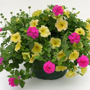 Sunny container for spring & summer: 'Suncatcher Pink Lemonade Petunia' and 'Wildfire Rose' verbena.