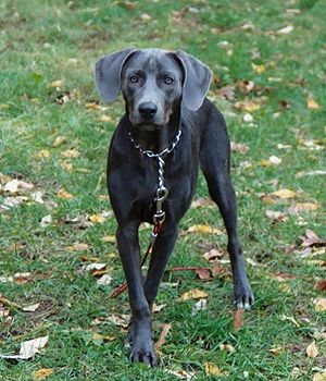Blue Lacy - Active, Intelligent, Alert, Devoted, Bold, Intense. Working dog breeds. Origin: USA. Height:-	 Male: 18–21 inches. Female: 18–21 inches. Weight:-	 Male: 15.9–22.7 kg. Female: 13.6–20.4 kg. Colors:-	 Cream, Red, Silver, Blue, Tri-color, Dark Grey.