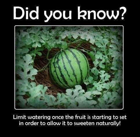 Any of you growing watermelon this year? Here's a great tip for beginners!