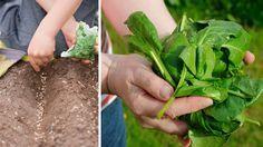 Špenát je odolný proti nízkym teplotám Špenát je vhodná predplodina. Zvyčajne sa vysieva v marci, najneskôr začiatkom apríla. Z neskoršej sejby sa však vegetácia posunie do obdobia dlhého dňa, keď už nastáva nebezpečenstvo predčasného vybiehania rastlín do kvetu.