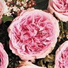 Купить розы Дэвида Остина в Москве. Заказать букет из роз Дэвида Остина.