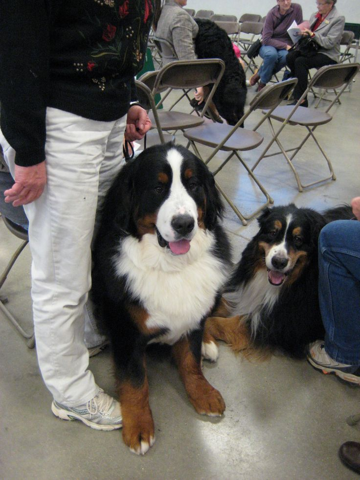 Bernese Mountain dogs at a dog show. I love this breed.