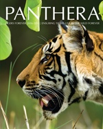 the main goal of the Tiger Corridor Initiative (TCI) is to identify and create safe passages for tigers to move between protected core populations and throughout human landscapes. Based on Panthera's genetic corridor model for jaguars, the TCI envisions regional, bi-national, and national tiger corridors that ensure linked networks of healthy, genetically-related tiger populations.
