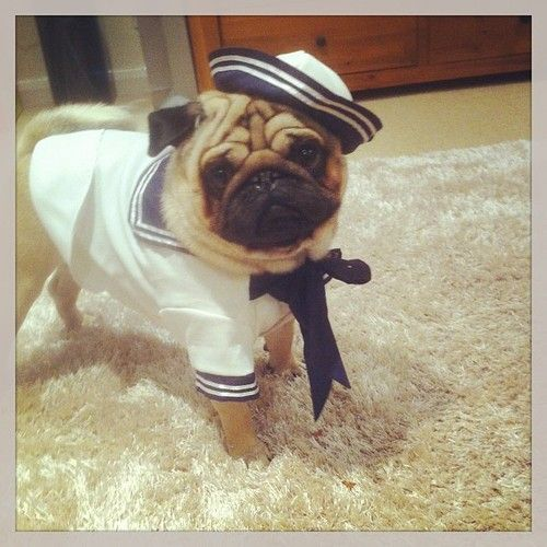 170 best for the love of dogs images on pinterest doggies pets dapperpugs im on shore leave for the weekend you got any plans thecheapjerseys Gallery