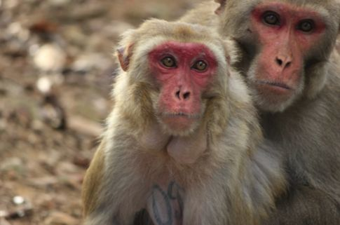 Skin coloring of rhesus macaque monkeys linked to breeding success, new study shows: The study showed that males that were darkly coloured, as well as high ranking within the community, had higher fecundity. Skin redness amongst females was also positively linked to fecundity.