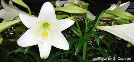 Learning how to take care of the beautiful Easter Lily I received as a gift, and when and how to replant it outdoors.