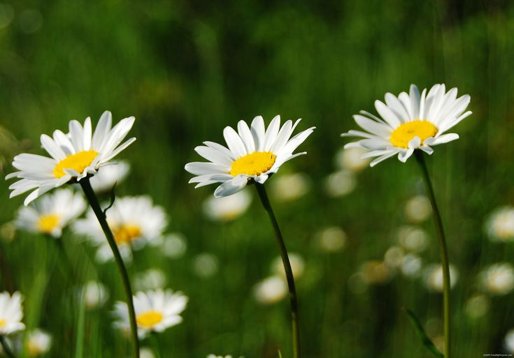 daisies pictures | Picture of White Gracious Daisies is a big image free offered