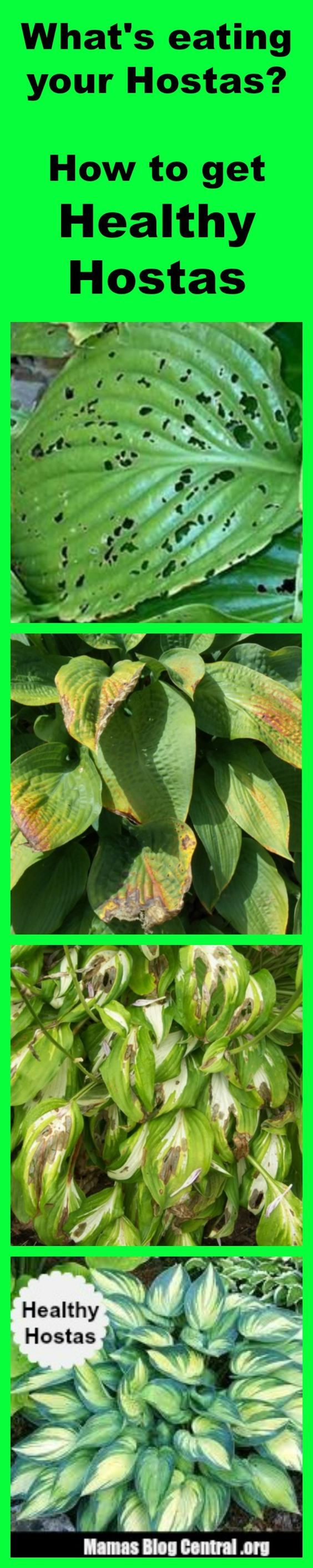 The Best homemade solution for Hostas Care that will stop bugs and slugs from eating your Hostas. http://www.mamasblogcentral.org/hostas-care/