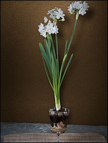 Paperwhites In A Glass Goblet (2 Bulbs) $12.95 · Garden GiftsIndoor ...
