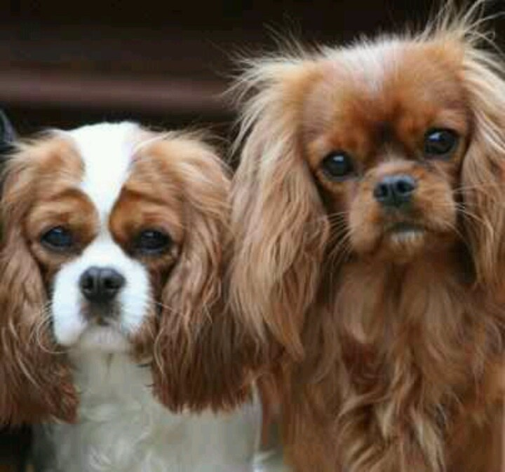Download Cavalier Brown Adorable Dog - e6e5a88138561ac69523d8ac5f0ff09c--cavy-cavalier-king-charles  Pictures_92237  .jpg