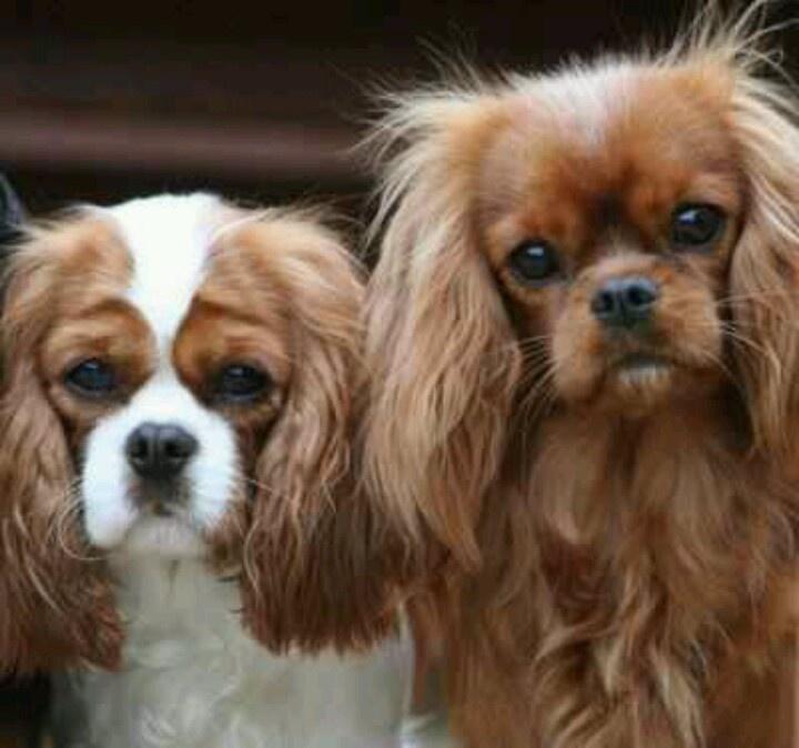 Top Charles Spaniel Brown Adorable Dog - e6e5a88138561ac69523d8ac5f0ff09c--cavy-cavalier-king-charles  Graphic_926239  .jpg
