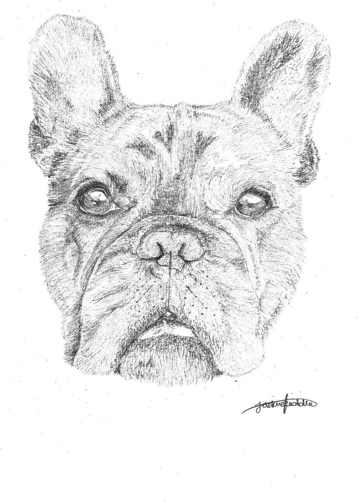 Leo the French Bulldog, drawing