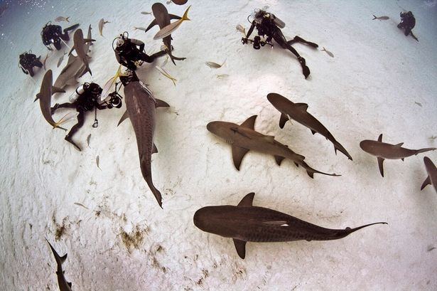 """Eli has adopted the same feeding routine since 2002 at Tiger Beach, in the Bahamas to tame the 16ft killers, second only to great whites when it comes attacking humans.    He added: """"They are calm unless threatened. And they have feelings. They're not mindless monsters."""""""