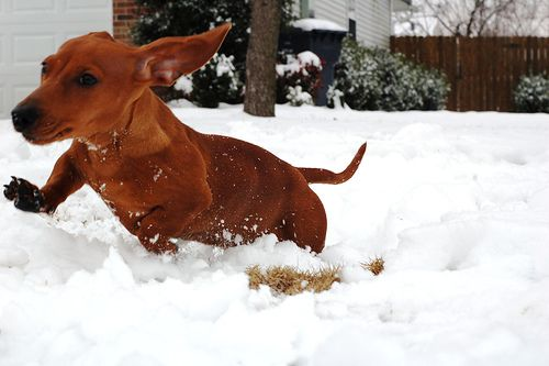 this looks exactly like my weiner dog. aww hes so adorable