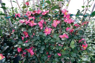 Sunless Success: 15 Great, Easy-to-Grow Shrubs for Shade | Virginia Gardener Web Articles (Camellia)