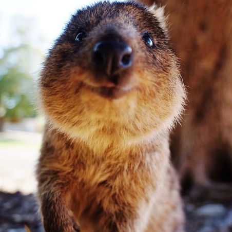 Best Quokkas Images On Pinterest Adorable Animals Happy - 15 photos that prove quokkas are the happiest animals in the world