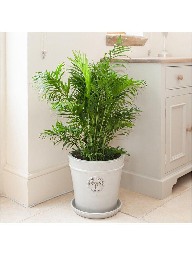 Areca palm 24cm pot 120 tall in 2020 Best indoor trees