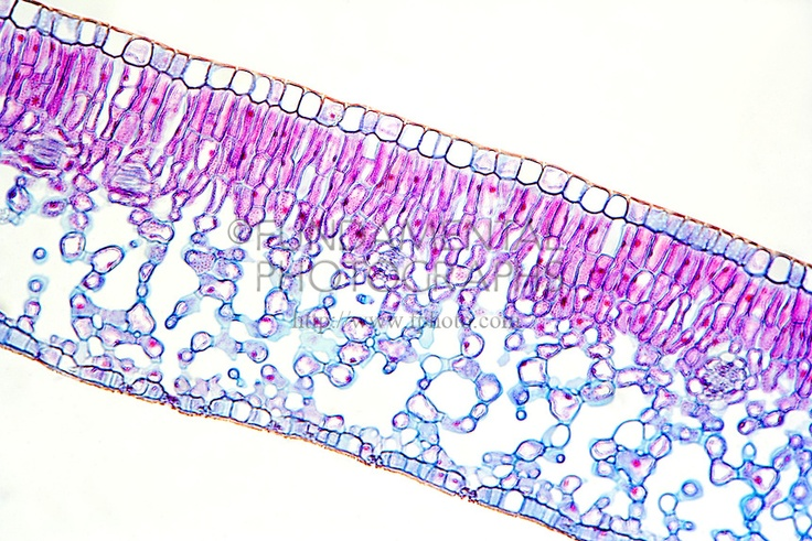 Plant cells - a typical leaf cross section   cross section ...