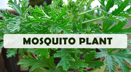 Mosquito repelling plants-Green Thumb Nursery