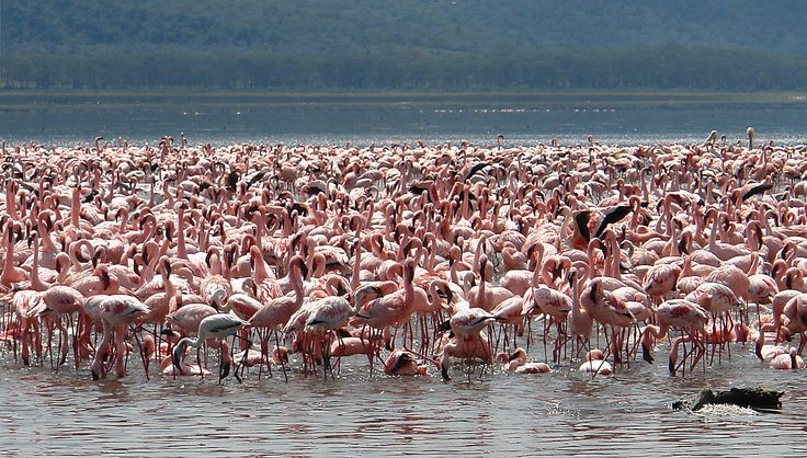 Where on earth can you witness pink lake shores covered by flamingos? No wonder its in Africa. Take a safari to Lake Nakuru in Kenya and see it for yourself its real. With about $200 you can witness the most breathtaking scene on earth. You can get more details or book this trip by logging in at http://www.fountainsafaris.com/tours-and-safaris/kenya-safaris/42-excursions-and-day-tours/207-kenya-excursions-and-day-tours