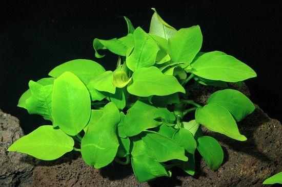 Anubia nana. Got them already. Amazing plant...