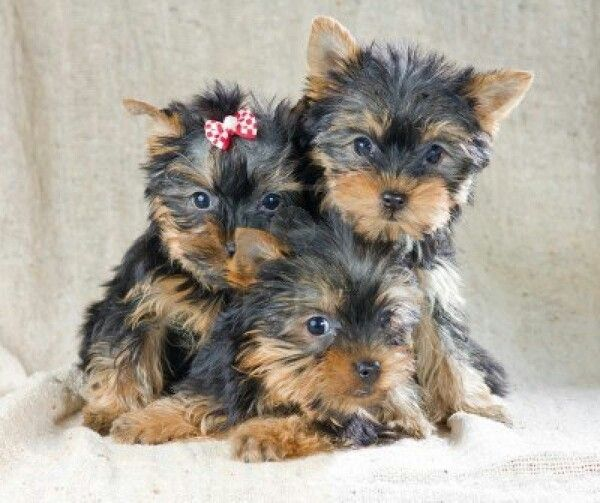 "Yorkies, just like my sweet Michael ""wookiee"""