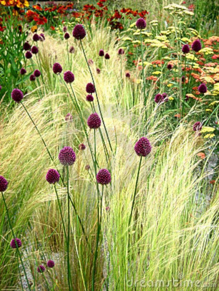 Allium en Stipa