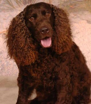 Breed of the Week: AMERICAN WATER SPANIEL *Area of Origin: USA *Date of Origin: 1800s *Original Function: retrieving #dog #breed #spaniel #waterspaniel