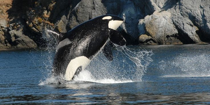 BİLİM DÜNYASI ///  Katil Balinalar Neden Menopoza Girer?