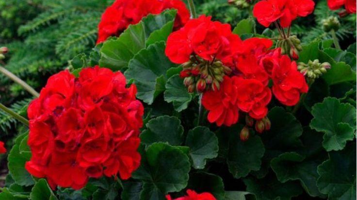 Truc uimitor pentru flori mai mari și mai dese la MUȘCATE! Folosește o coajă pe care de obicei o arunci la gunoi…. - dr. Andrei Laslău