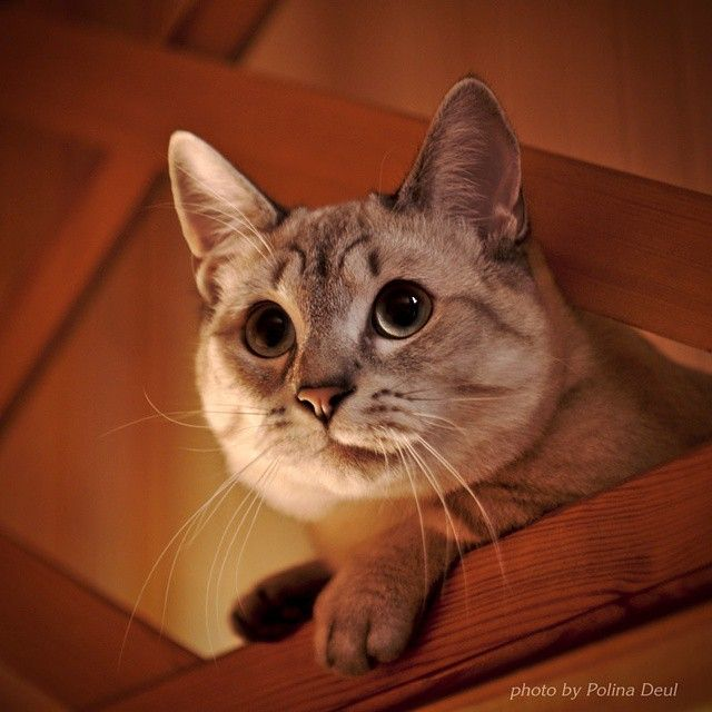 Каспер. Kasper. #теплыйкот #кот #котэ #манчкин #кошкатакса #питомниккошек #питомник #сонгофайс #котики #каспер #киса #munchkincat #munchkin #cat #catterysongofice #kasper