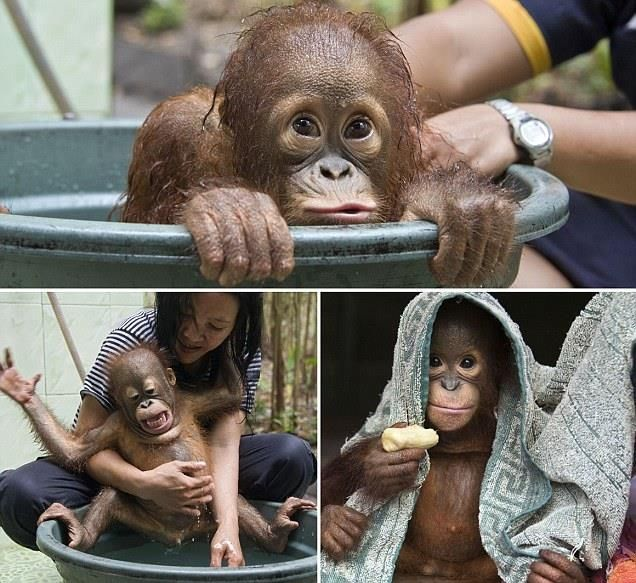 I'm the king of the swimmers: Two-year-old Mr Bernie - one of 330 orphaned apes…