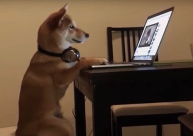 Is Chiko The Shiba Inu The World's Most Perfect Netflix Companion