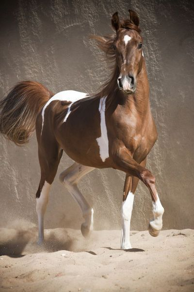 """""""Araber Partbred - Christiane Slawik"""" Picture by Christiane Slawik buy now as poster, art print and greeting card.."""