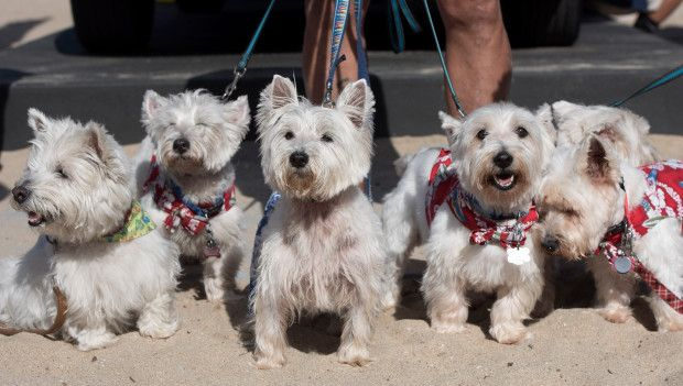 Joey, center, hangs out with his west highland terrier rescue friends, after competing in the small dog surfing contest in Huntington Beach on Saturday, September 23, 2017.(Photo by Mindy Schauer, Orange County Register/SCNG), center,