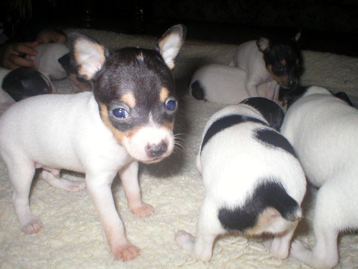 Toy Fox Terrier Puppies for Sale in Connecticut