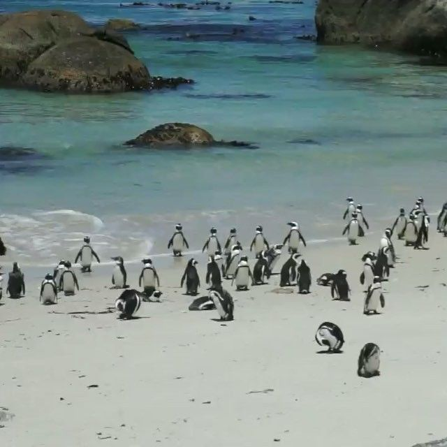 Lovely penguins in South Africa  www.haisitu.ro #haisitu #penguins #travel