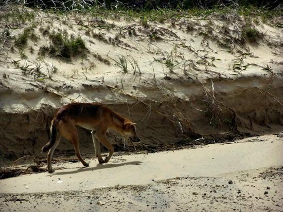Australia - Queensland, Fraser Island - Dingo