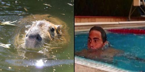 submerged capybara