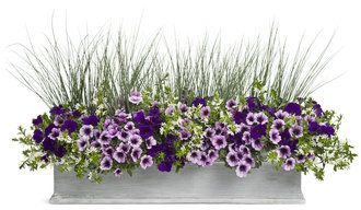 Wild Ride - Supertunia Royal Velvet, Suptertunia Bordeaux, Graceful Grasses Blue Mohawk, Whirlwind White Fan Flower