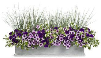 Wild Ride - Supertunia Royal Velvet, Suptertunia Bordeaux, Graceful Grasses Blue Mohawk, Whirlwind White Fan Flower