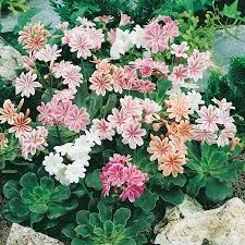 a grouping of Lewisia 'bitterroot' evergreen rosettes with pink/peach/orange blooms. Drought tolerant, sun-loving, easy and attractive even without blooms!