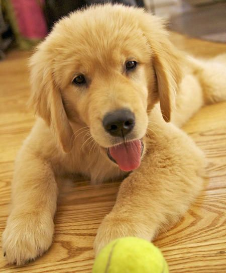 Golden retriever puppy... First thing Im getting when I move in to my own place. Sooo precious