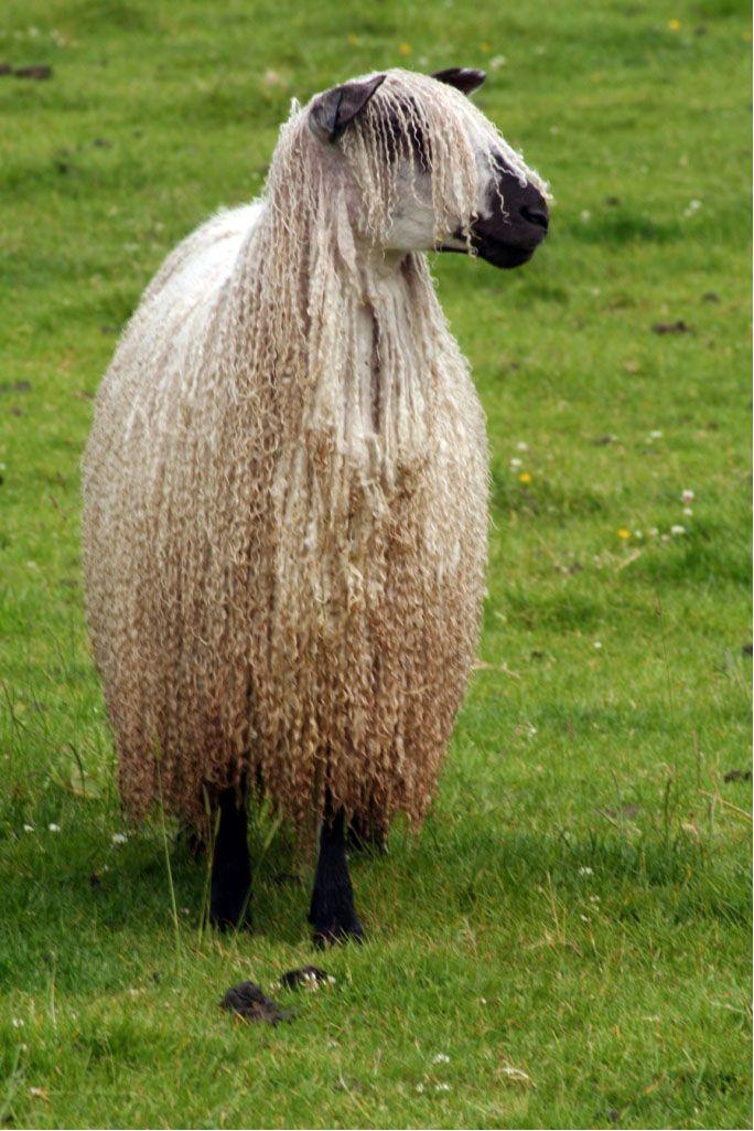 British Rare Breed - Teeswater Sheep
