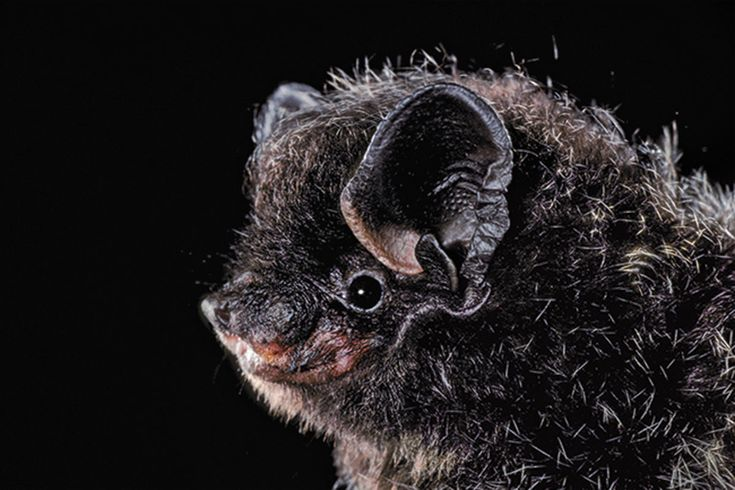 The Secret Lives of Bats: The adventures of the real batman   New Scientist