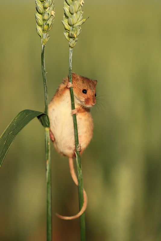 Harvest Mouse on Wheat Ear   Flickr - Photo Sharing!