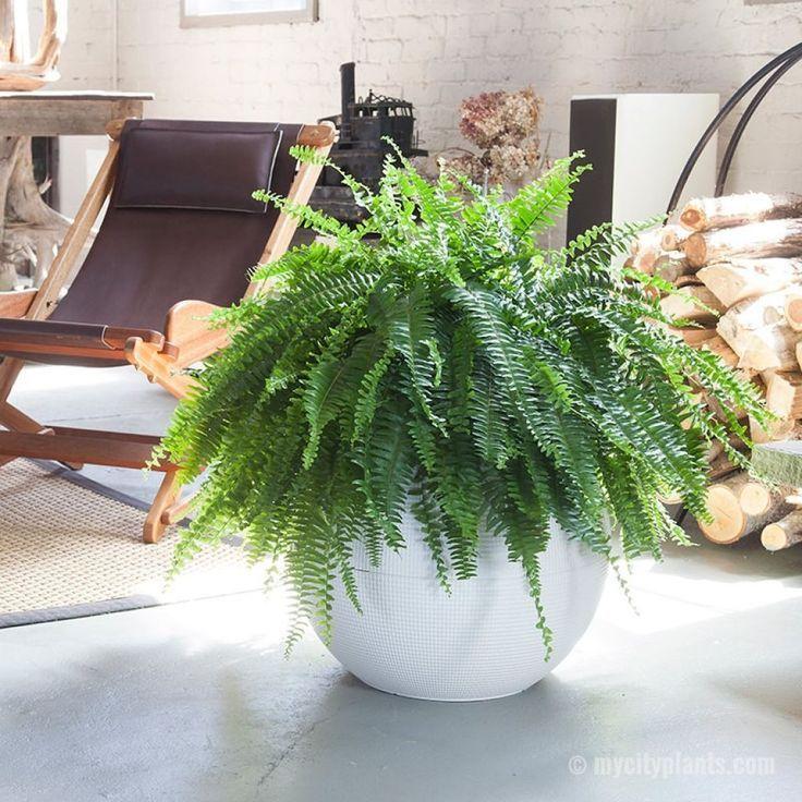 Lovely Boston Fern Houseplants Fern Houseplant Plants House Plants Indoor