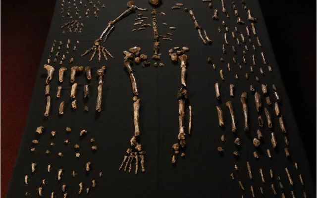 """Antiche ossa scoperte in Sud Africa appartengono a una possibile nuova specie di ominidi chiamata Homo naledi In un articolo pubblicato sulla rivista on line """"eLife"""" viene descritta la scoperta di circa 1.500 pezzi di ossa appartenenti ad almeno 15 individui di ominidi in una grotta chiamata Rising Star. #fossili #paleontologia"""